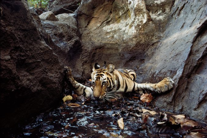 The tiger Bachhi (camera-trap photograph), Bandhavgarh