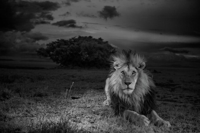A lion called C-Boy (shot in infrared nonvisible light), Serengeti National Park,