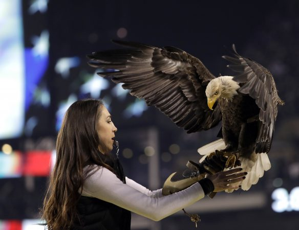 An eagle lands during the national anthem before the NFL football NFC championship game between the Philadelphia Eagles and the Minnesota Vikings Sunday, Jan. 21, 2018, in Philadelphia. (AP Photo/Matt Slocum)