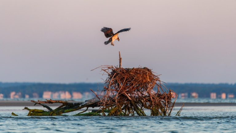 An osprey prepares to land on a natural nest in the Barnegat Bay. (Image courtesy of the Conserve Wildlife Foundation of New Jersey)