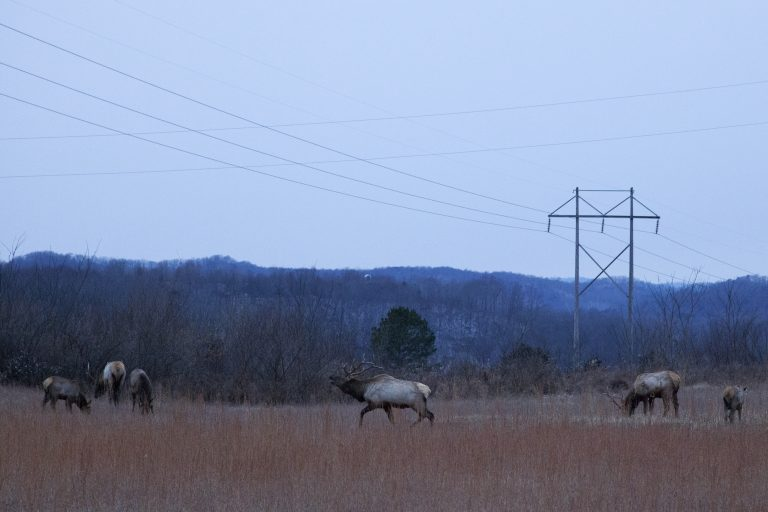 Elk graze at dawn on reclaimed mine land in Kentucky's designated elk zone. The animals were reintroduced to the state in 1997 and have flourished. (Irina Zhorov/The Pulse)