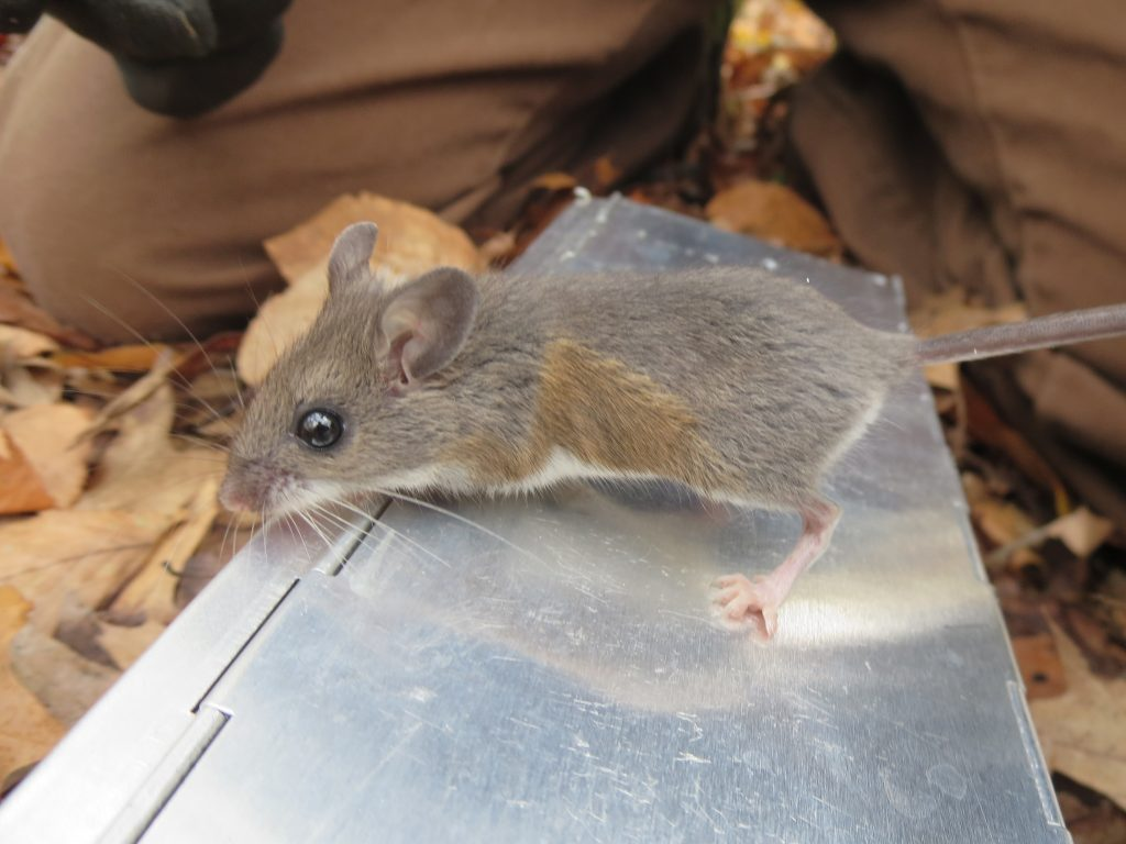 Among other adaptations, city mice have shorter teeth than their cousins in rural areas. Credit: Jonathan Richardson