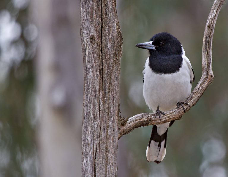 The pied butcherbird in Australia inspired composer Hollis Taylor, who says we can consider its birdsong to be music. Photo from <a href='https://www.flickr.com/photos/patrick_k59/14640105234/in/photolist-oiGneu-93tjUr-5a33c6-XU9v56-6sGgM7-og5p6i-mDuTfx-92PT2g-JEwVq-oeeNa7-j9dWU-bnSQTQ-q1jgQL-dTcC4c-92T6cS-JvB2q-2AVt7C-92PVWv-Ap8t7L-J6HNbv-ojpk4N-92PUp6-oZuXz5-bmF52m-4t7h4A-9rrDdz-Ap8nkS-j9dGL-pYqP4y-omemNA-pFVL7R-7yf2Mt-q7NcnS-paSHkb-8Fh5ZZ-ApfB3F-bDfrCQ-dqqZFv-xq3rba-P3evGT-Vum4j7-6PkSYh-4fEwnL-2AR4xD-dqr7oC-XcYiHE-XsNsWn-yEuexH-vRXfLq-BnuW3b' target='_blank' rel='noopener'> Flickr user patrickkavanagh</a>.