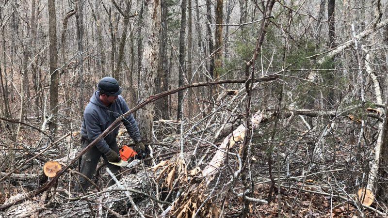 Tommy Fisk cuts down a black oak outside Eminence, Missouri on Dec. 14, 2017
