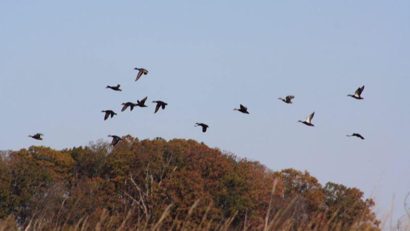 Ducks take flight as seen from the Blackbird Creek (Brian Drouin/WHYY)