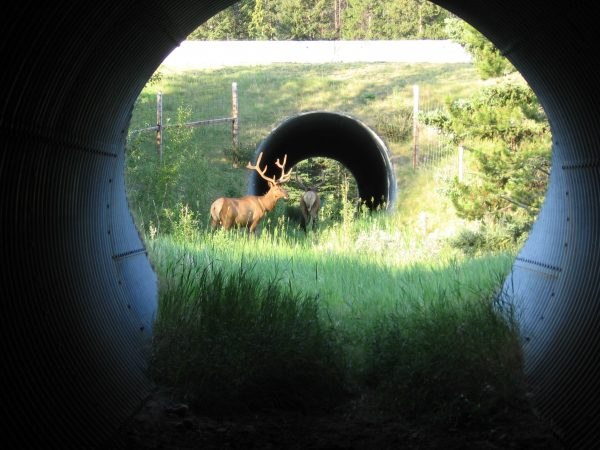 Animals use underpasses and overpasses to safely cross the Trans-Canada Highway. Researchers have found that different critters prefer different kinds of structures. (Courtesy of Adam Ford)