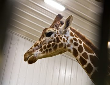 During the winter months, giraffes at the Elmwood Park Zoo in Norristown view movies in their barn.