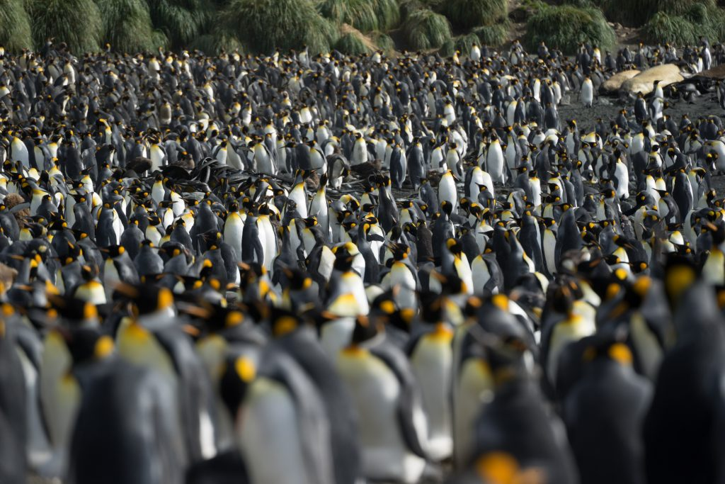 You can be surrounded by thousands of king penguins in the Antarctic islands. Credit: Sherry Ott