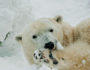 Coldilocks the polar bear (courtesy of The Philadelphia Zoo)