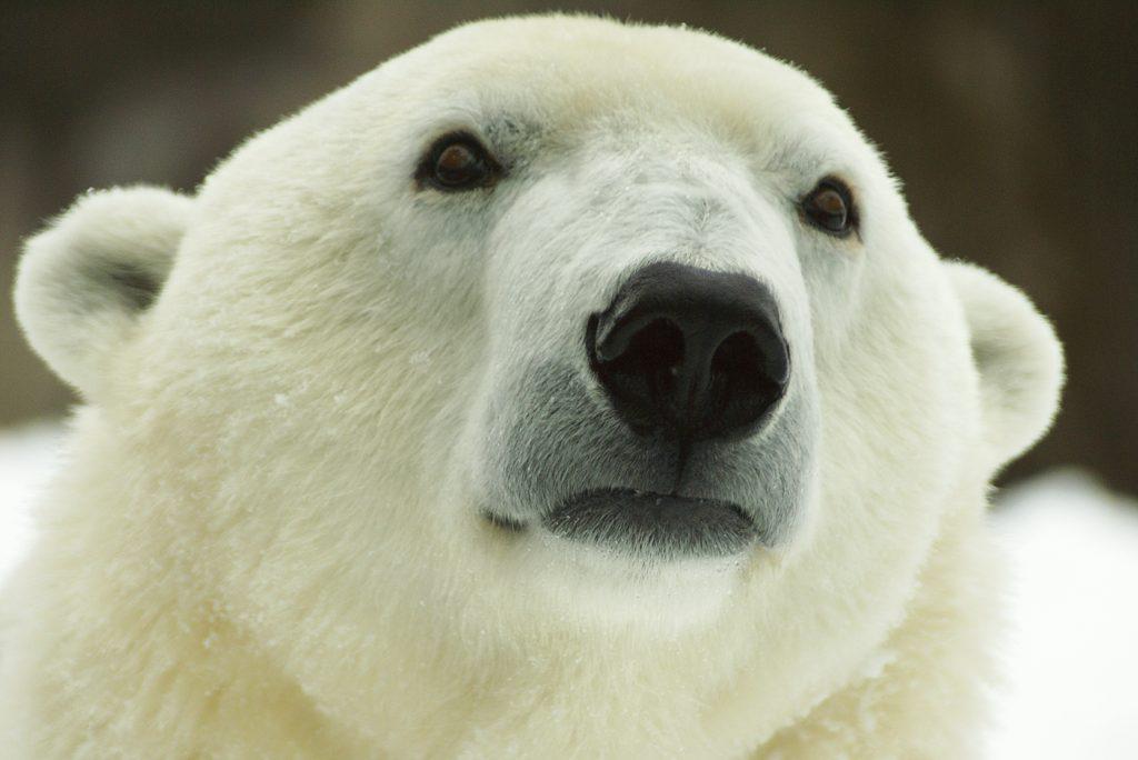 Coldilocks the polar bear (courtesy of The Philadelphia Zoo)