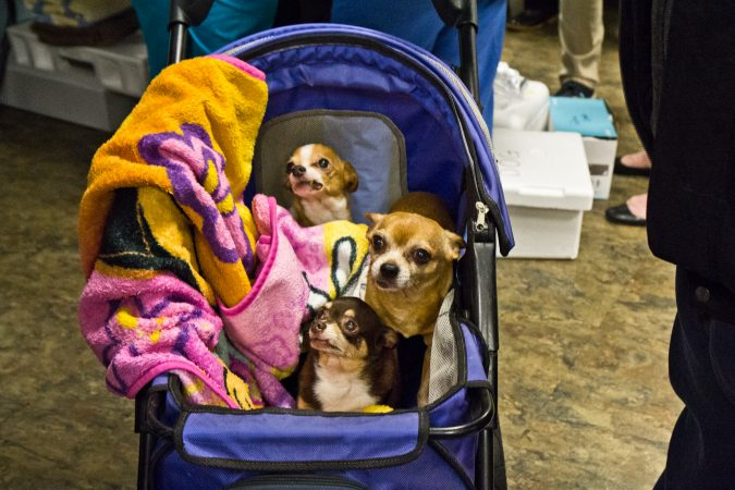 The Banks' Chihuahuas, Cocoa, 13, Crybaby, 10, and Rusty, 13, received check-ups at the Henrietta Johnson Medical Center in Wilmington. (Kimberly Paynter/WHYY)