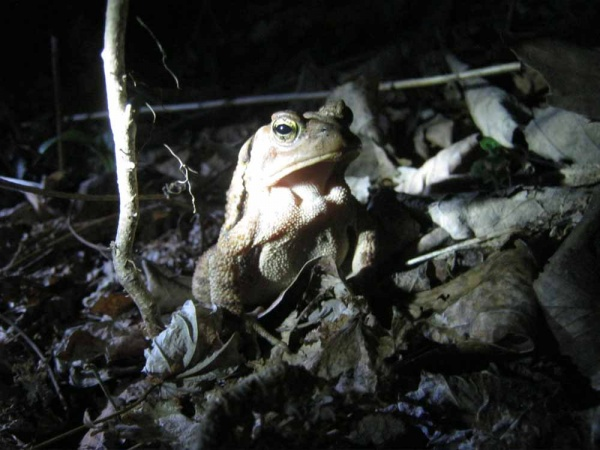 Hibernating toads are making their annual leap to breeding grounds — a bit ahead of schedule (WHYY, file)