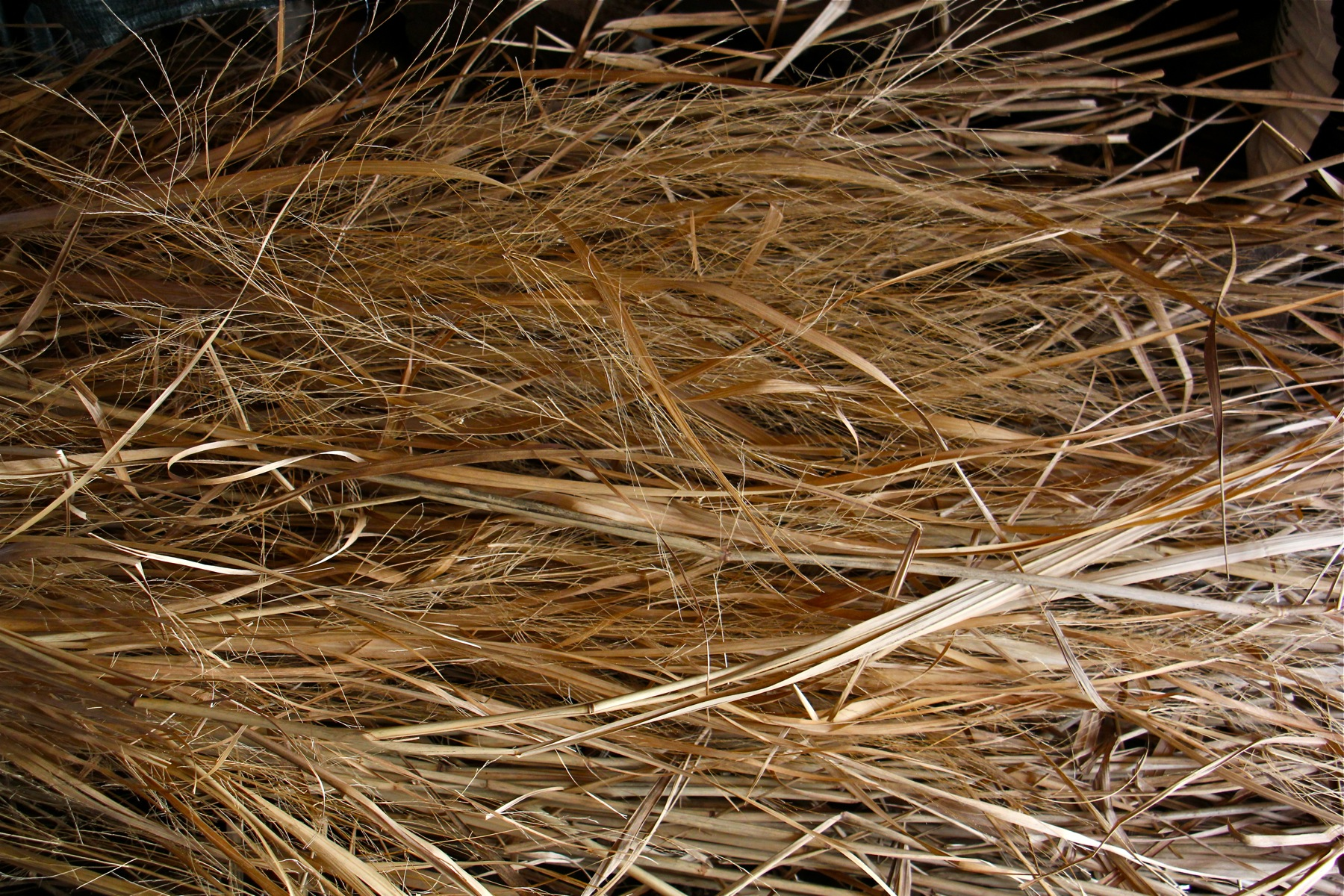 Miscanthus sinensis, used in ornanmental plantings, is commonly known as Chinese silver grass.