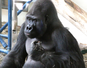 Louis the gorilla (Kimberly Paynter/WHYY)