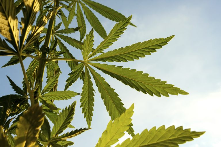 Marijuana plant. (BigStock)