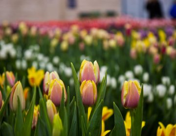 Tulips on display at the 2018 Philadelphia Flower Show. (Kimberly Paynter/WHYY)