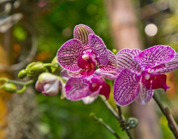 Orchids on display at the main exhibit of the 2018 Flower Show in Philadelphia. (Kimberly Paynter/WHYY)