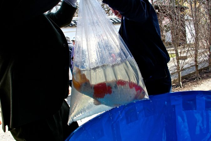 Joseph Zuritsky and an assistant transport koi in a large plastic bag at the Japanese House and Garden. (Emma Lee/WHYY)