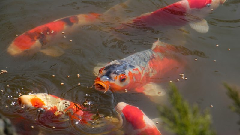Koi rise to the surface of the pond to feed. (Emma Lee/WHYY)