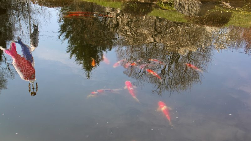 The 31 koi donated by Joseph Zuritsky are already living in the pond at the Japanese House and Garden. More will be introduced in May, when the water is warmer. (Emma Lee/WHYY)