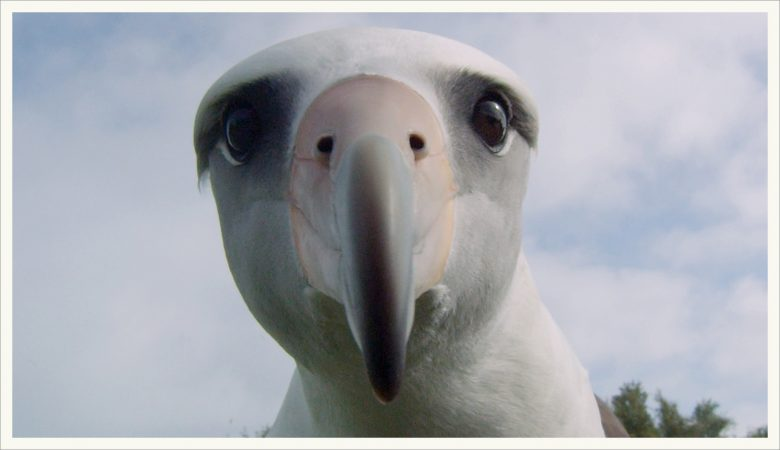 Albatross birds are masters at soaring through the wind without flapping their wings. They can spend years over the ocean without touching land. (Image from Albatross documentary)