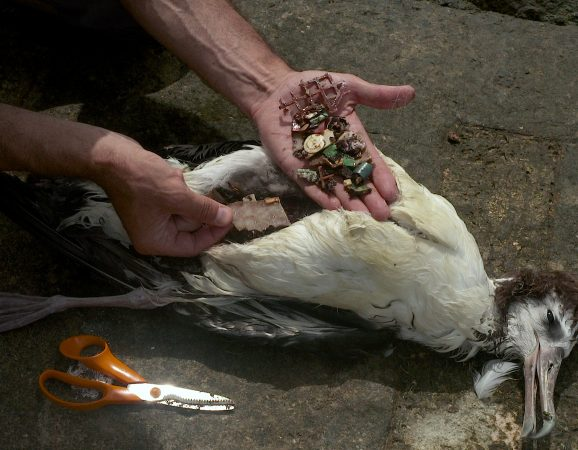 The Albatross eats squid but often consumes plastic debris  that can kill them. (Image from Albatross documentary)