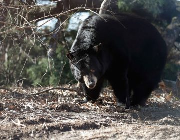 Bears in Pennsylvania are struggling with mange they can't seem to kick. (Brandon Wade/AP Images for The Humane Society of the United States)