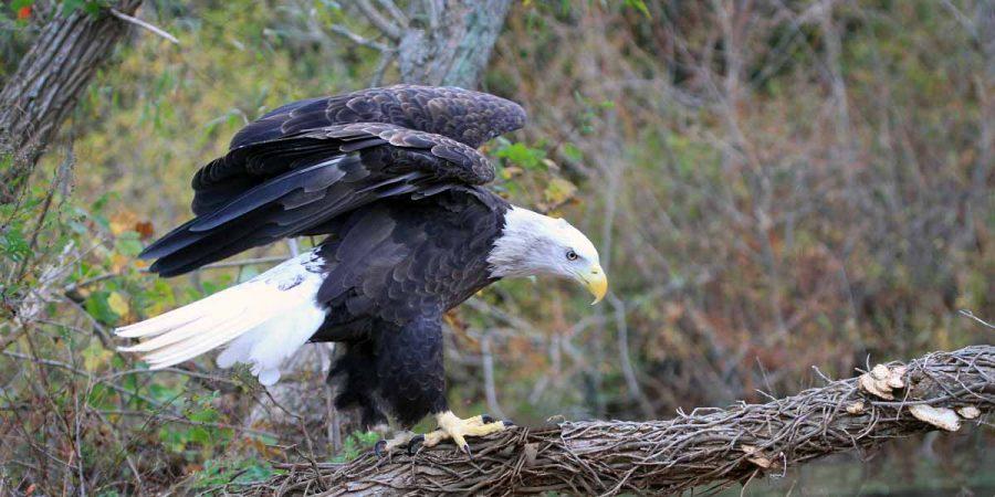 Bald eagle (Photo by Lee Hajduk)