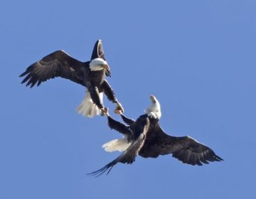 Bald Eagles jousting. (Photo by Kevin Karlson)