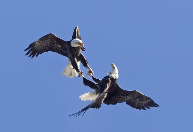 Bald eagles jousting at Cape May, N.J. (Photo by Kevin Karlson)