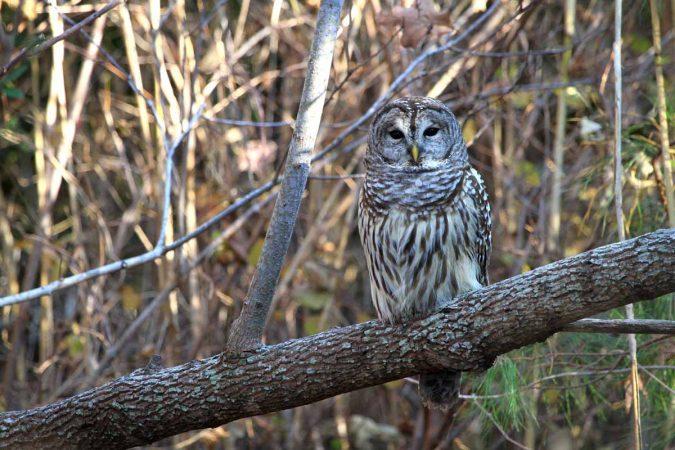 Barred owl (Photo by Lee Hajduk)