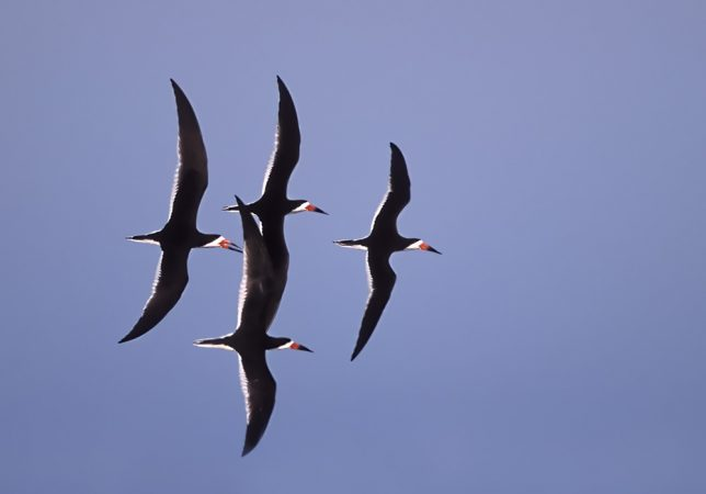 Black skimmers in synchronous flight at  Stone Harbor, N.J. (Photo by Kevin Karlson)