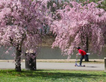 Cherry trees near Boathouse Row are in full bloom. (Emma Lee/WHYY)
