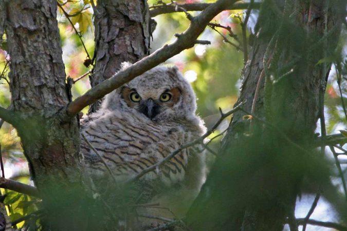 Great horned owl (Photo by Lee Hajduk)