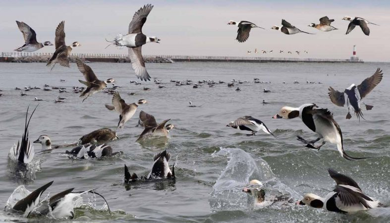Long-tailed Duck landing in the water. (Photo by Richard Crossley)