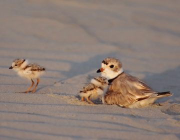 Piping plover with chicks in Cape May, N.J. (Courtesy of Kevin Karlson)