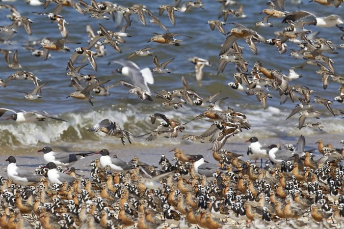 Red knots, ruddy turnstones at Reeds Beach N.J. (Photo by Kevin Karlson)
