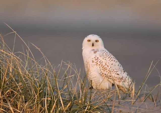 Snowy owl at Stone Harbor, N.J. (Photo by Kevin Karlson)