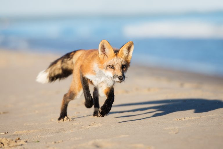 As N J Kills Red Foxes To Protect Shore Birds 80 000 Petitioners Demand Killing End Whyy