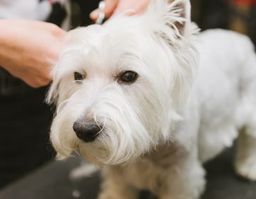 A dog at grooming service. (Big Stock photo)