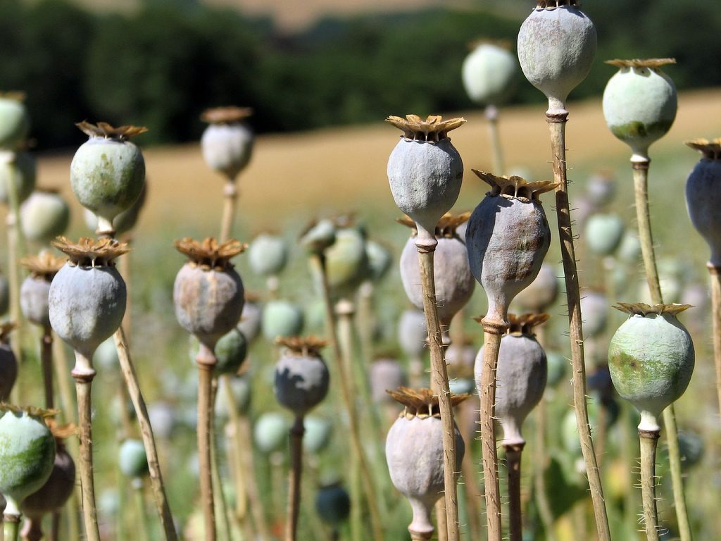 Some western medicine comes from our knowledge of plants, like how morphine is extracted from opium.