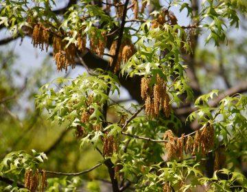 Oak tree pollen (Emma Lee/WHYY News)