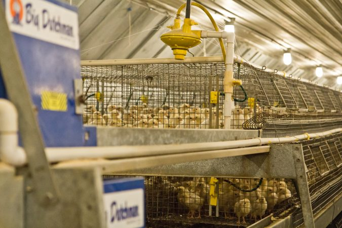 Three week-old chickens on the Hunsberger farm. (Kimberly Paynter/WHYY)