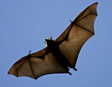 In this April 1, 2005 file photo, a flying fox soars above the trees. It is the world's largest species of fruit bat, also know as the flying fox  (Mark Baker/AP Photo, File)