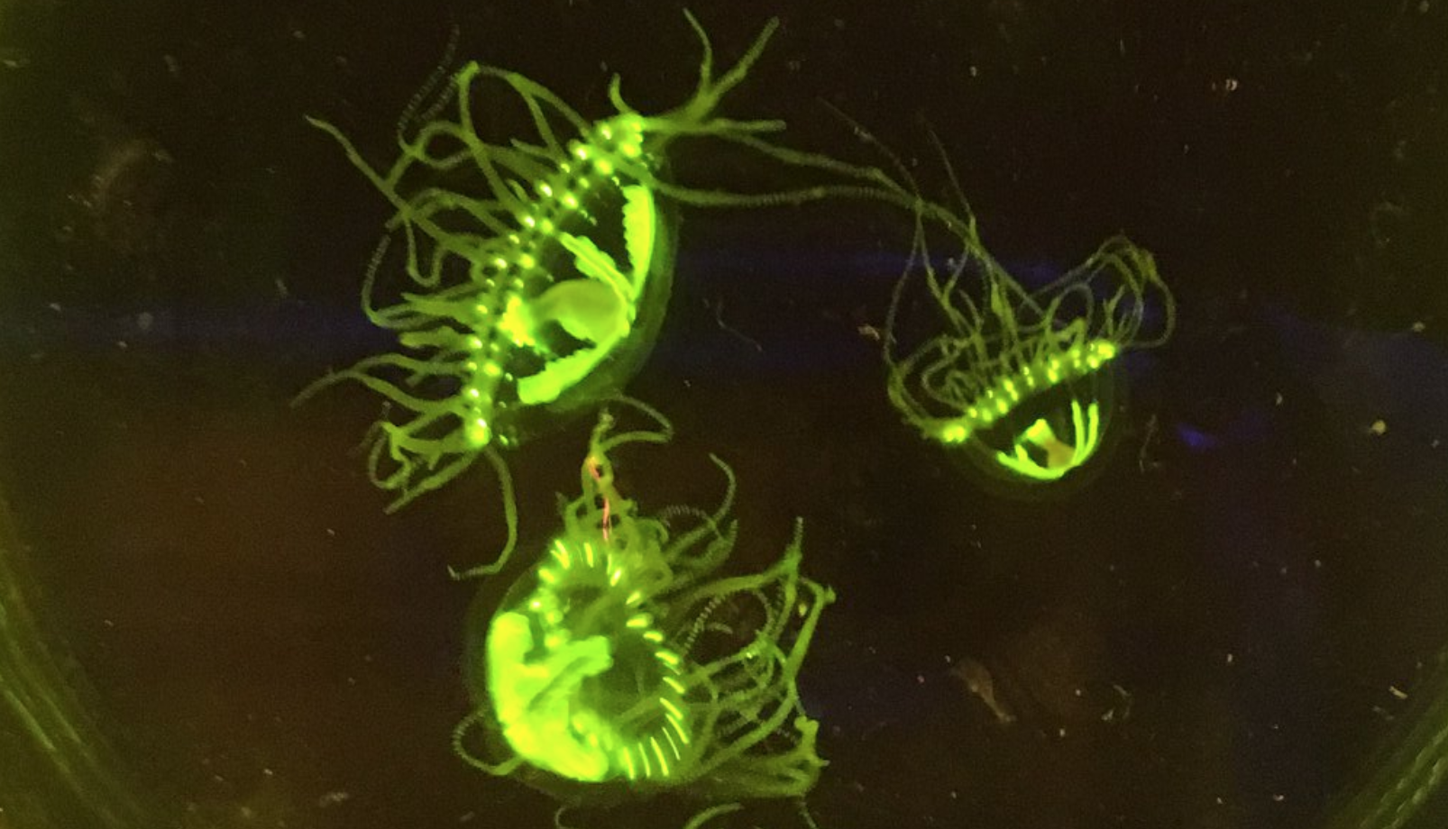 Researcher finds nearly 300 dangerous clinging jellyfish in Barnegat Bay