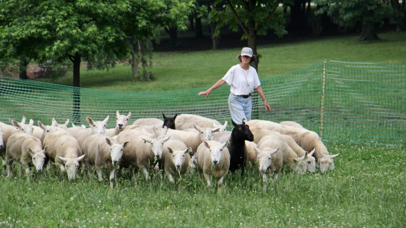 Trainer Diane Cox ushers her sheep into the performance area where they will interact with human and canine performers in a semi-improvised dance. (Emma Lee/WHYY)