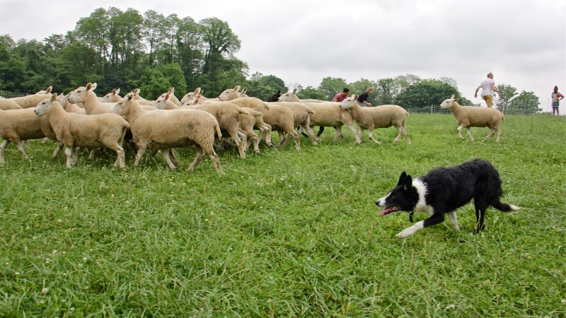 Wull, a border collie, drives the movements of the herd as they interact with human performers. (Emma Lee/WHYY)