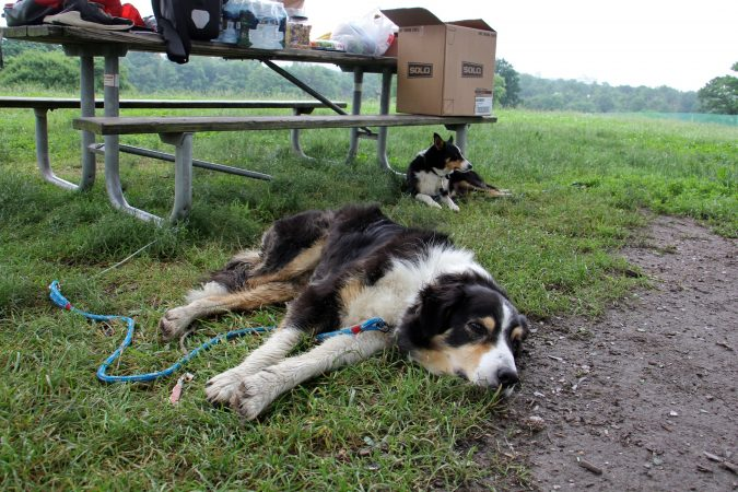 Border collies Monk and Lala rest in the shade while waiting to perform. (Emma Lee/WHYY)