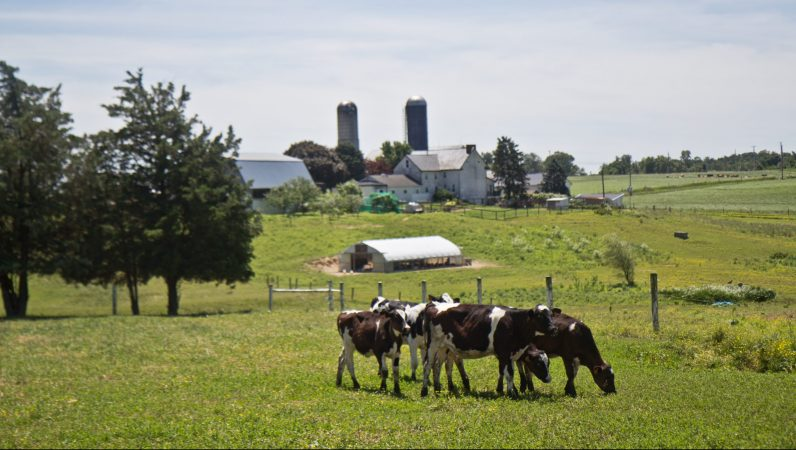 Cows graze at the Cedar Dreams farm in Peach Bottom, Pa. (Kimberly Paynter/WHYY)