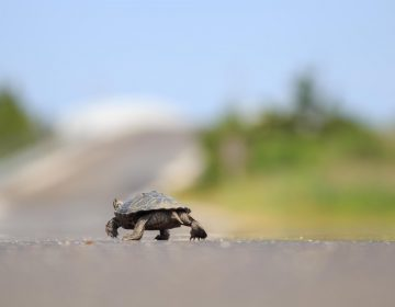 An adult female turtle crossing Great Bay Boulevard in Little Egg Harbor. (Image courtesy of Conserve Wildlife Foundation of New Jersey)